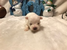 Jack Jack Male CKC Morkie $1750 Ready 1/22 AVAILABLE 6.5 oz 2W3D Old