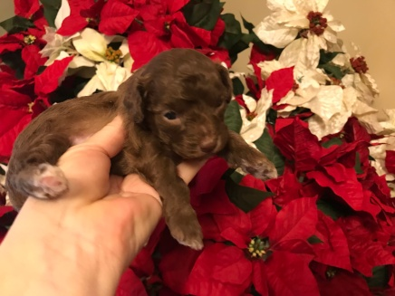 Jade Female CKC Maltipoo $2000 Ready 1/10 SOLD MY NEW HOME JACKSONVIILE FL 15 oz 3W2D OLD