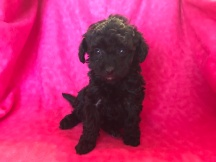 Lacey Female CKC Mini Labradoodle $1750 Ready 2/2 SOLD MY NEW HOME ST JOHNS, FL 1.4lb 6wk Old