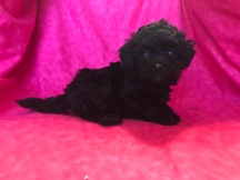 Lily Female CKC Mini Labradoodle $1750 Ready 2/2 SOLD MY NEW HOME JACKSONVILLE, FL 1.5lb 6wk old