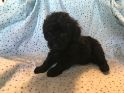 Luca Male CKC Mini Labradoodle $2000 Ready 2/2 SOLD MY NEW HOME JAX,FL 2.0lb 6wk
