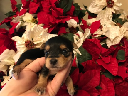 Mega Man Male CKC Morkie $1750 Ready 1/22 HAS DEPOSIT MY NEW HOME IS JACKSONVILLE, FL 6 oz 2W3D Old