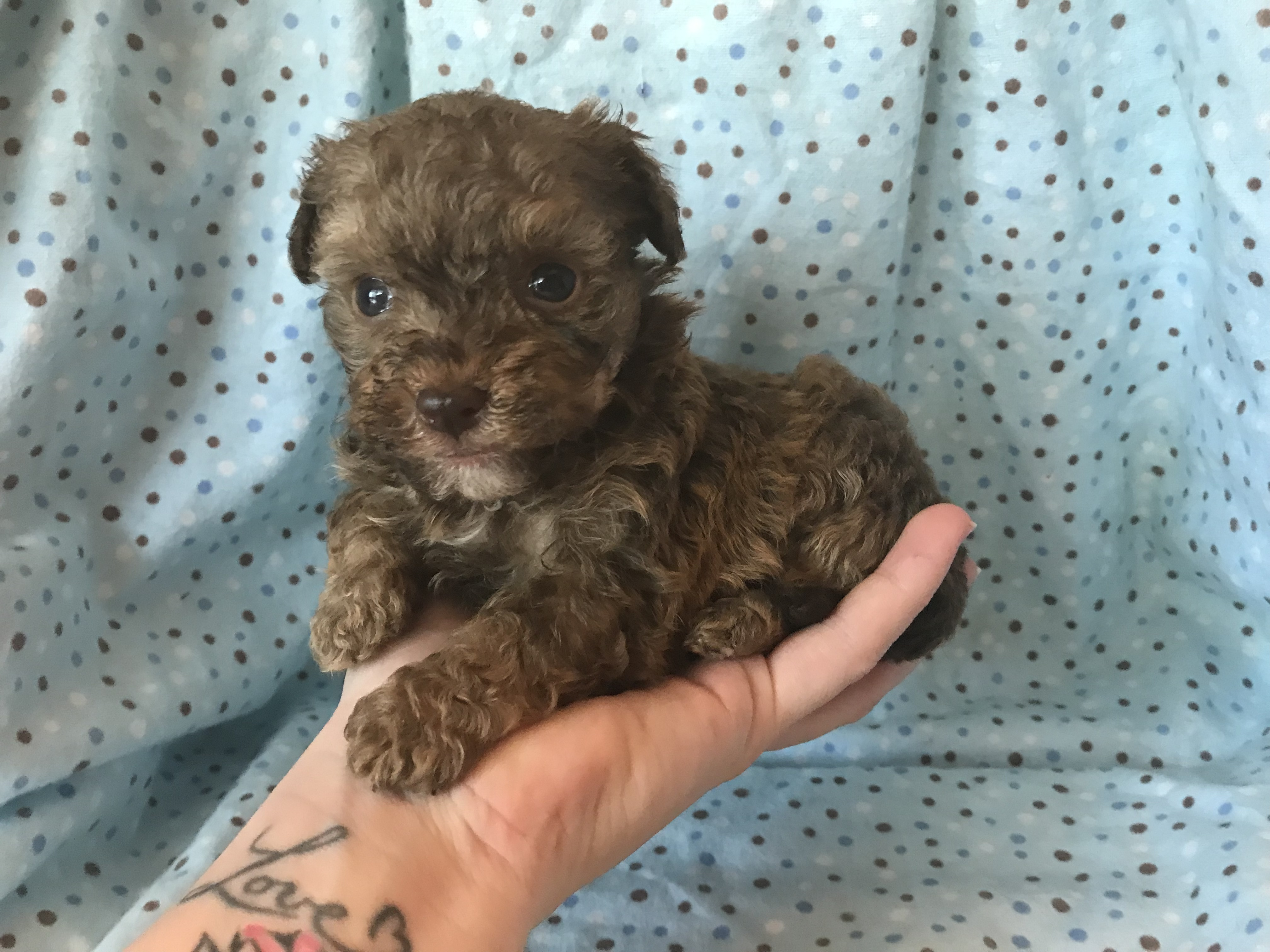 Teacup poodle weight chart image collections free any chart examples toy poodle weight chart gallery free any chart examples teacup poodle growth chart gallery free any nvjuhfo Images