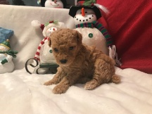 Sporty Female CKC Maltipoo $1750 Ready 12/31 SOLD MY NEW HOME JACKSONVILLE, FL 1.8 lbs 4W1D Old