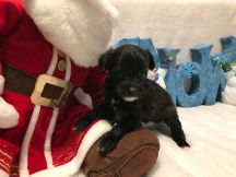 Celebration Female CKC T-Cup Yorkipoo $1750 Ready 12/30 SOLD MY NEW HOME JACKSONVILLE, FL 13.5 oz 4W2D Old