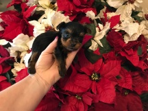 Fire Cracker Male CKC T-Cup Yorkie $2000 Ready 12/30 HAS DEPOSIT MY NEW HOME JACKSONVILLE, FL 10 oz 4W2D Old