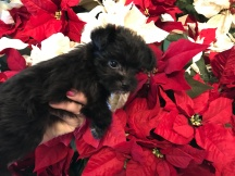 Gravity Female CKC Morkie $2000 Ready 12/11 SOLD MY NEW HOME BRANDON, FL 1.2 Lbs 7W1D OLD