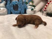 Layla Female CKC Mini Labradoodle $2000 Ready 2/2 HAS DEPOSIT MY NEW HOME JAX, FL 7 oz 6 Days Old