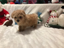 Malz Maltipoo $1750 Ready 12/12 SOLD MY NEW HOME OCALA, FL 2.3 LBS 7W1D Old