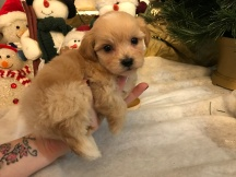 Milo Male Havapoo $1750 Ready 1/10 SOLD MY NEW HOME FERNANDINA BEACH, FL 1.3 LBS 5W2D OLD