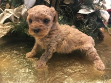 Spice Female CKC Havapoo $1750 Ready 2/2 SOLD MY NEW HOME JACKSONVILLE, FL 1.1 Lbs 4W4D Old