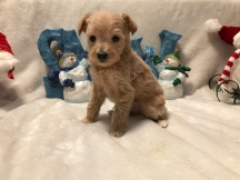 Rocket Male CKC T-Cup Yorkipoo $1750 Ready 12/30 SOLD MY NEW HOME ATLANTA, GA 1 lb 4W2D Old