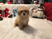 Smouchie Female CKC Mini Labradoodle $2000 READY 11/17 SOLD! 2.1 Lbs 10w2d old