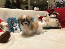 Bashful Male CKC Malshi $1750 READY 12/11 SOLD MY NEW HOME GA 2.1 lbs 7 weeks