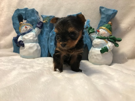 Confetti Female CKC T-Cup Yorkie $2000 Ready 12/30 HAS DEPOSIT MY NEW HOME GROVELAND, FL 11 oz 11 Day Old