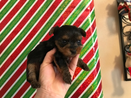 FIREWORK Male CKC T-Cup Yorkie $2000 Ready 12/30 SOLD MY NEW HOME JACKSONVILLE BEACH, FL 13 oz 4W2D Old