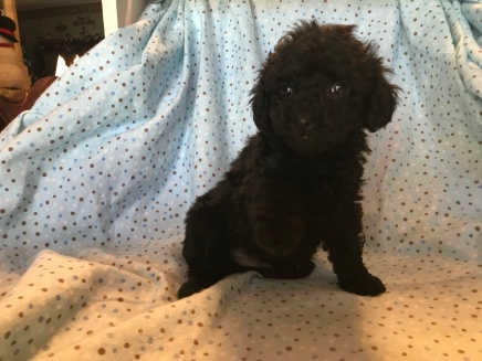 Luca Male C KC Mini Labradoodle $1750 Ready 2/2 SOLD MY NEW HOME JACKSONVILLE, FL 2lb 6wk old