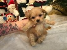 Makayla Female Havapoo $1750 Ready 1/10 HAS DEPOSIT MY NEW HOME