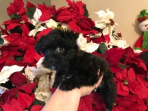 Rosebud Female CKC Morkie $1750 Ready 12/11 SOLD MY NEW HOME JACKSONVILLE, FL 1.10 Lbs 7W1D