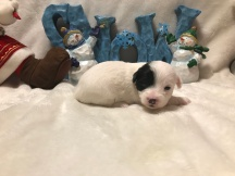Scooter Male CKC Shorkipoo $1750 Ready 1/15 AVAILABLE 1.1 lbs 2W1D Old