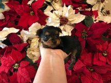 FIREWORK Male CKC T-Cup Yorkie $2000 Ready 12/30 HAS DEPOSIT MY NEW HOME JACKSONVILLE BEACH, FL 13 oz 4W2D Old