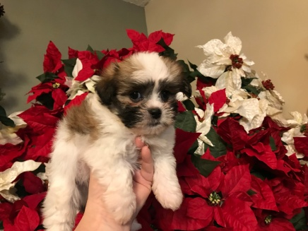 Happy Male CKC Malshi $1750 READY 12/11 SOLD MY NEW HOME OVIEDO, FL 2.1 lbs 7 wks OLD