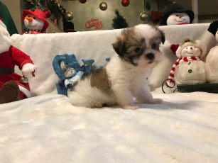 Snow White Female CKC Malshi $1750 READY 12/12 SOLD MY NEW HOME BOYNTON BEACH, FL .2 LBS 7 weeks 0ld