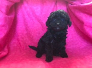 Lacey Female CKC Mini Labradoodle $1750 Ready 2/2 HAS DEPOSIT MY NEW HOME ST AUGUSTINE, FL 1.4lb 6wk Old