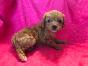 Layla Female CKC Mini Labradoodle $2000 Ready 2/2 SOLD MY NEW HOME JAX, FL 1.8lb 6wk old