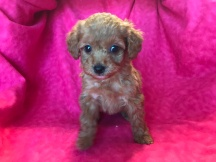 Layla Female CKC Mini Labradoodle $2000 Ready 2/2 SOLDSOLD MY NEW HOME JAX, FL 1.8lb 6wk old