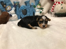 Scarlette Female CKC Havashire $1750 Ready 1/12 SOLD MY NEW HOME JACKSONVILLE, FL 15 OZ 3wks old