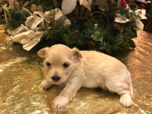 Snazzy Female CKC Havashire $1750 Ready 2/9 SOLD MY NEW HOME LITTLE TORCH, FL 1.2 Lbs3 weeks Old
