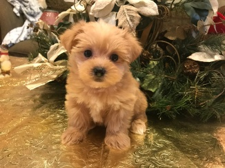 Carolina Female CKC Shorkie $1750 Ready 1/19 SOLD! MY NEW HOME LINCOLN, NE 1.6 lbs 6 weeks old