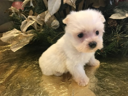 Jack Jack Male CKC Morkie $1750 Ready 1/22 HAS DEPOSIT MY NEW HOME ST JOHNS, FL 14.5 pz 5W5D Old