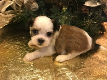 Willow Female CKC Havashu $1750 Ready 2/1 SOLD MY NEW HOME JAX, FL 1.6 lbs 4W4D