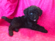 Lizzy Female CKC Mini Labradoodle $1750 Ready 2/2 SOLD MY NEW HOME YULEE,FL 1.9lb 6wk Old
