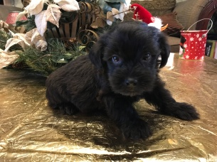 Tex Male CKC Shorkie $1750 Ready 1/19 SOLD!MY NEW HOME ST AUGUSTINE, FL 1.4 lbs 3 weeks old