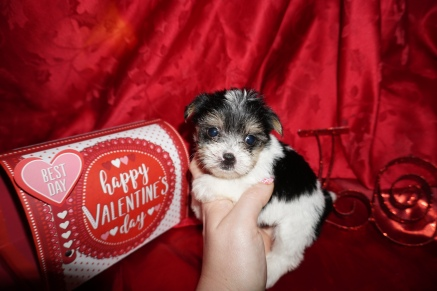 Tia Female CKC Havashire $1750 Ready 3/3 SOLD MY NEW HOME GAINESVILLE, FL 14.9oz 5wks Old