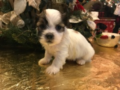 Walker Male CKC Havashu $1750 Ready 2/1 SOLD MY NEW HOME PONTE VEDRA BEACH, FL 7 oz 1 week old1.7 Lbs 4W4D Old