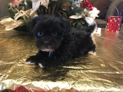 Binkie Male CKC Shihpoo $1750 Ready 1/24 SOLD MY NEW HOME JACKSONVILLE, FL 1.12 lbs 6 weeks old