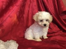Beau Male CKC Morkipoo $1750 Ready 2/17 SOLD MY NEW HOME CHIN HILLS, CA 1.15lb 7w3d old