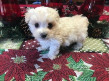 Boo Boo Male CKC Maltipoo $1750 Ready 1/22 SOLD MY NEW HOME SAN JOSE, CA 1.4 lbs 5W5D