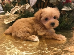 Carolina Female CKC Shorkie $1750 Ready 1/19 SOLD!1.6 lbs 6 weeks old