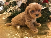 Dakota Female CKC Shorkie $1750 Ready 1/19 SOLD! MY NEW HOME JACKSONVILLE, FL 13 oz 3 weeks old