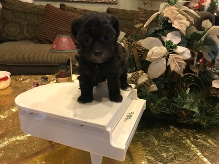 Izzy Female CKC Shihpoo $1750 Ready 1/26 AVAILABLE 1.6 lbs 5 weeks old