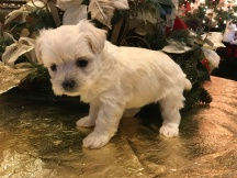Katie Female CKC Maltipoo $1750 Ready 1/24 SOLD MY NEW HOME BOERNE, TX 1.6 lbs 5W2D OLD