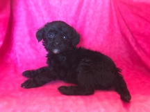 Lizzy Female CKC Mini Labradoodle $1750 Ready 2/2 AVAILABLE 1.9lb 6wk Old