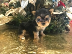 Mega Man Male CKC Morkie $1750 Ready 1/22 HAS DEPOSIT MY NEW HOME IS JACKSONVILLE, FL 10 OZ 5W5D Old