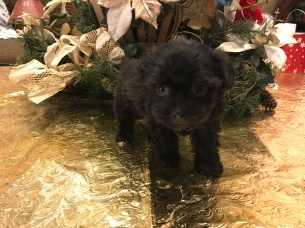 Mocha Female Havapoo $1750 Ready 1/24 SOLD MY NEW HOME WOODLAND, TX 1.2 lbs 6 weeks old