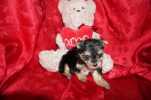 Tess Female CKC Havashire $1750 Ready 3/3 SOLD 1.5LB 5WKS old